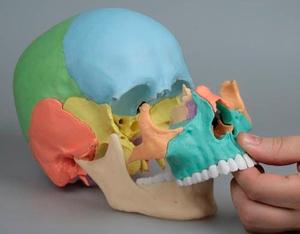 anatomisches-modell