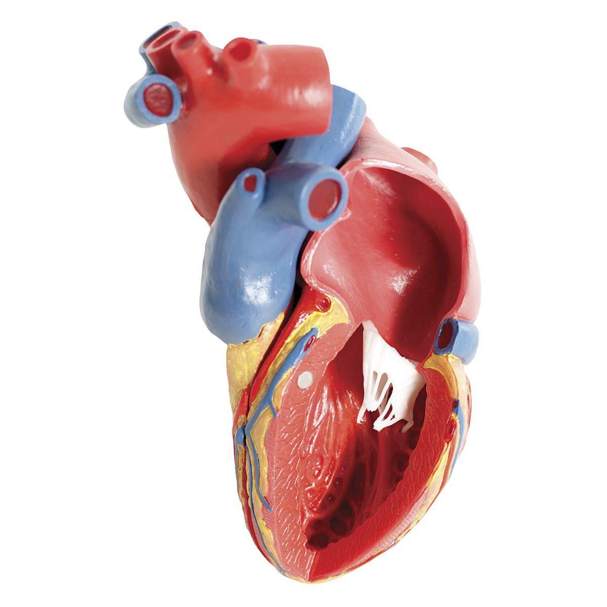 Anatomisches Modell / Herz / für Ausbildung - G01 - 3B Scientific