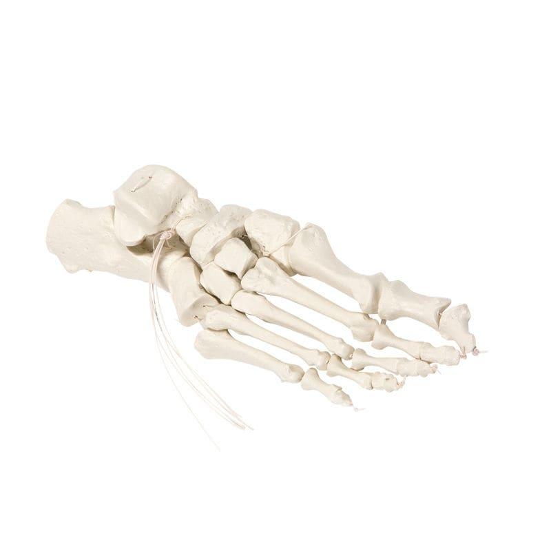 Skelett Anatomisches Modell / Fuß / für Ausbildung - 6061 - Erler ...