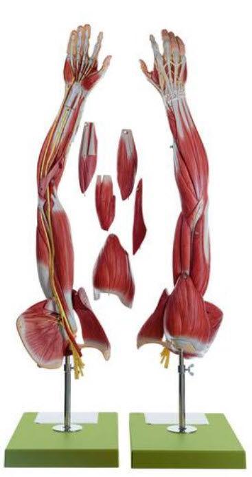 Anatomisches Modell / Schulter / Muskel / Arm / für Ausbildung - NS ...