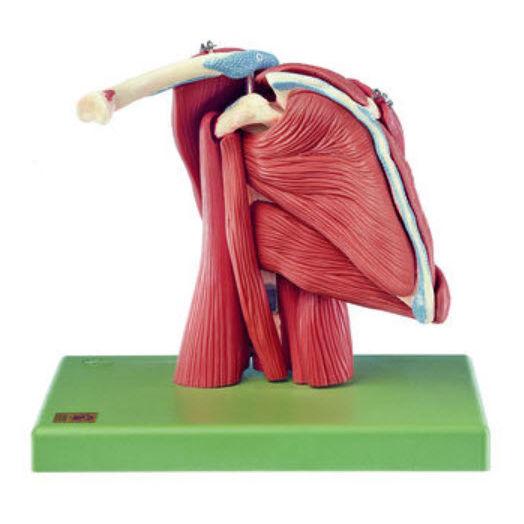 Muskel Anatomisches Modell / Schulter / für Ausbildung - QS 55/6 - SOMSO