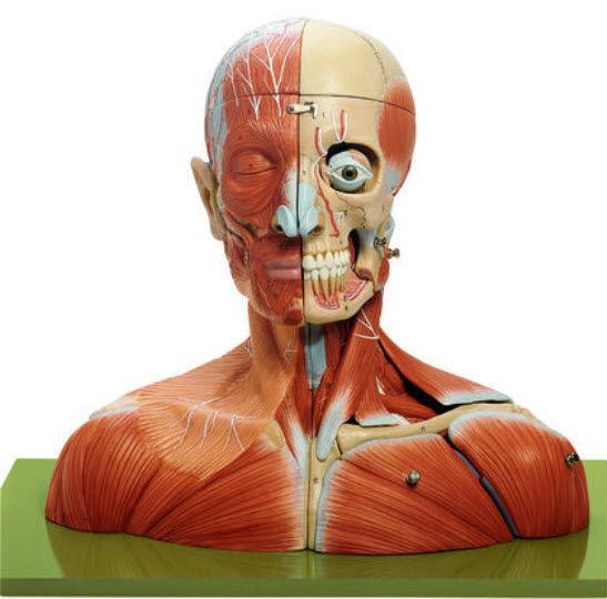 Anatomisches Modell / für Nacken / Kopf / Muskel / für Ausbildung ...