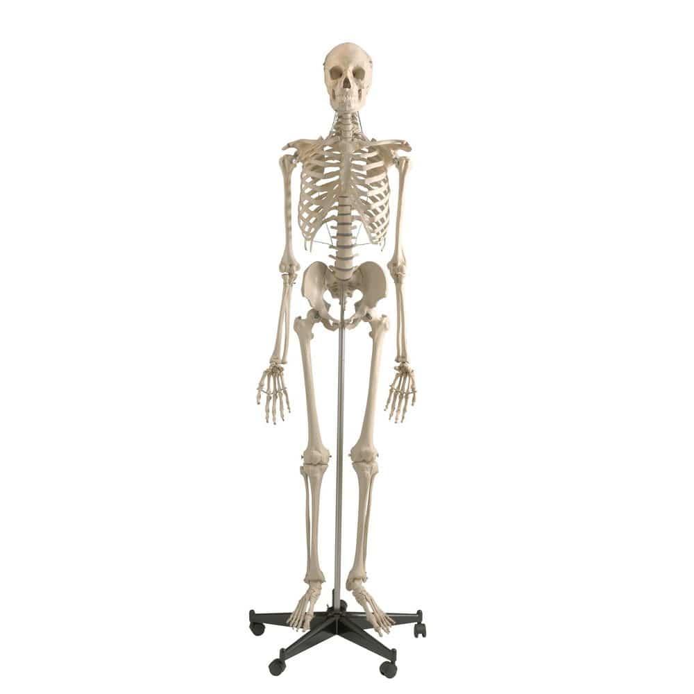 Anatomisches Modell / Ganzkörper / Skelett / für Ausbildung / mit ...