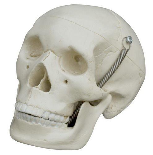 Anatomisches Modell / Schädel / für Ausbildung / Miniatur - MI220 ...