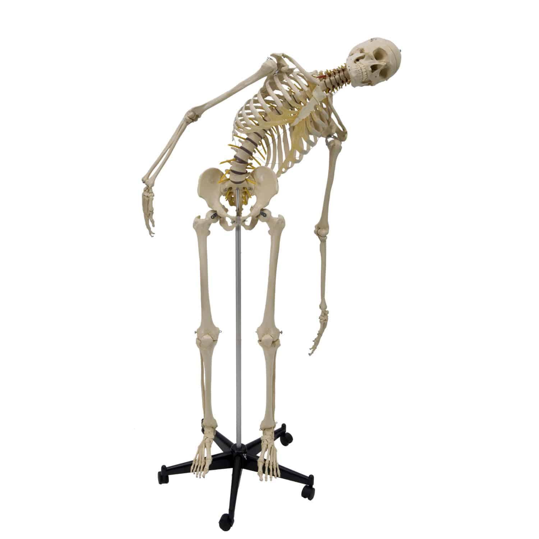 Skelett Anatomisches Modell / für Ausbildung / mit Gelenk / mit ...