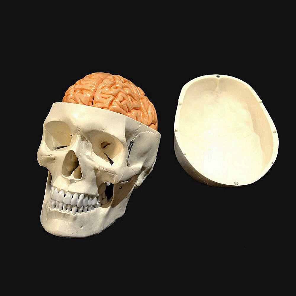 Anatomisches Modell / Schädel / Gehirn / für Ausbildung / mit Gelenk ...