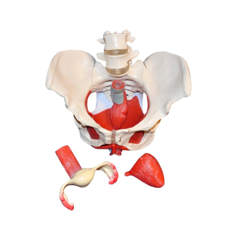 Anatomisches Modell / Becken / für Ausbildung / mit Muskulatur ...