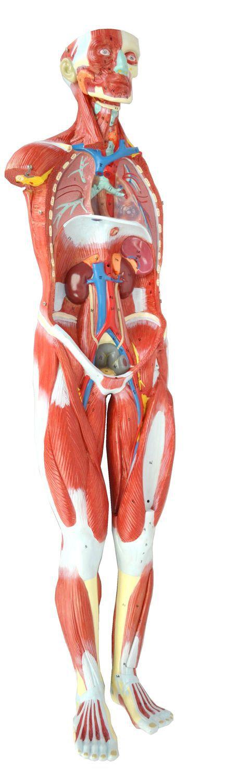 Nett Ganzkörper Anatomie Modell Fotos - Anatomie und Physiologie des ...