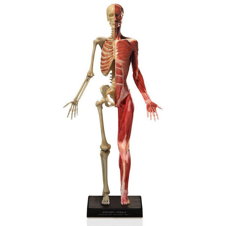 Anatomisches Modell / Muskel / Skelett / Ganzkörper / für Ausbildung ...