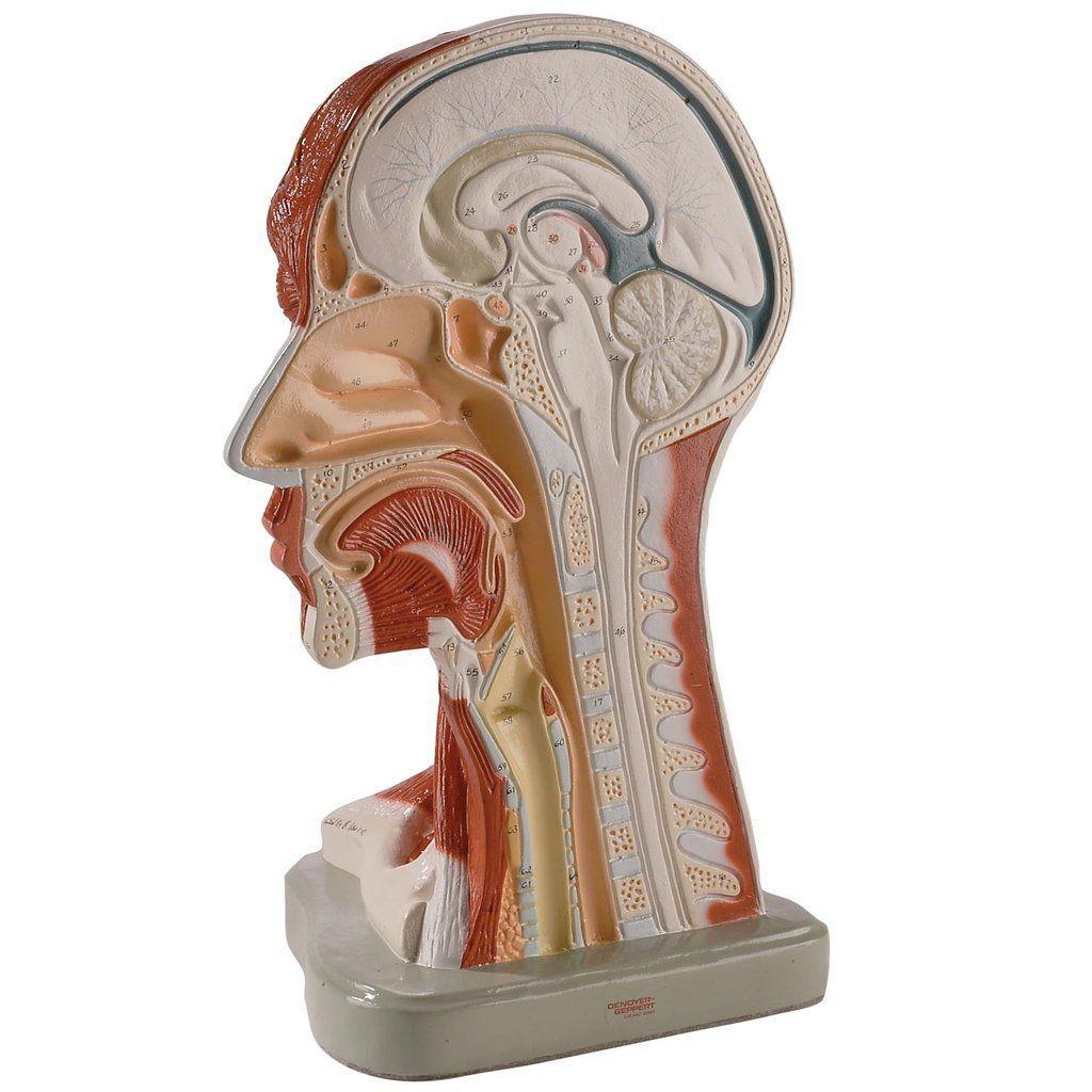 Kopf Anatomisches Modell / Hals / für Ausbildung / mit Muskulatur ...