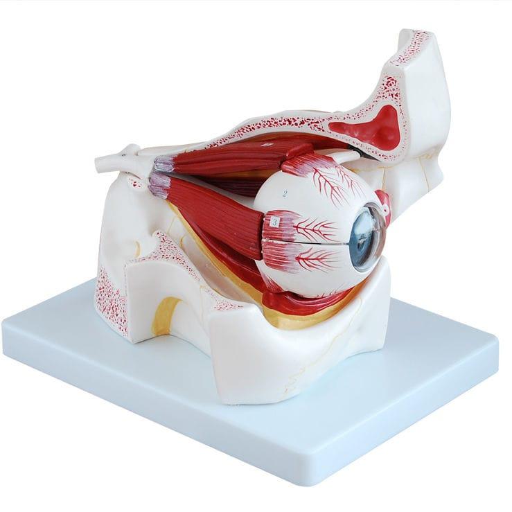 Muskel Anatomisches Modell / Auge / für Ausbildung / mit Augenhöhle ...