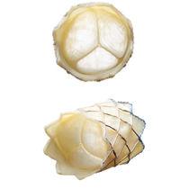 Biologischer Aortenklappenersatz / Lunge / aus Rindergewebe / nahtlos