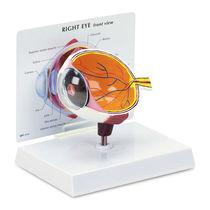 Auge Anatomisches Modell