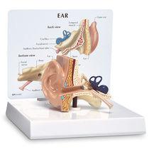 Gehörgang Anatomisches Modell