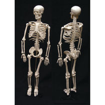 Skelett Anatomisches Modell / für Ausbildung / mit Gelenk