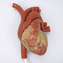 Anatomisches Modell / Herz / für Ausbildung