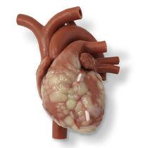 Anatomisches Modell / Herz / für Ausbildung / für minimalinvasive Chirurgie / für Herzchirurgie