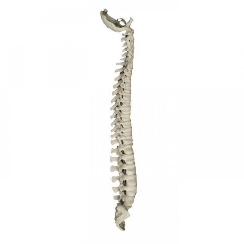 Anatomisches Modell / Wirbelsäule / für Fortbildungen / Chirurgie / flexibel