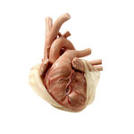 Anatomisches Modell / Herz / für Herzchirurgie / für Thoraxchirurgie / Kinder