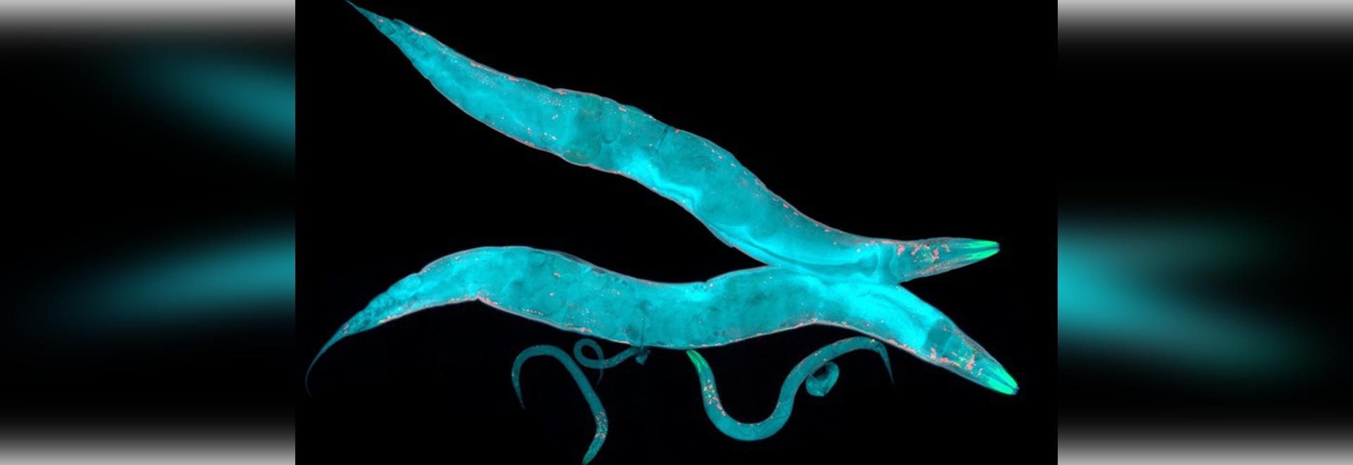Kleine Gehirne, großes Bild: Enthüllungsmicroscopic Geheimnisse c.elegans'