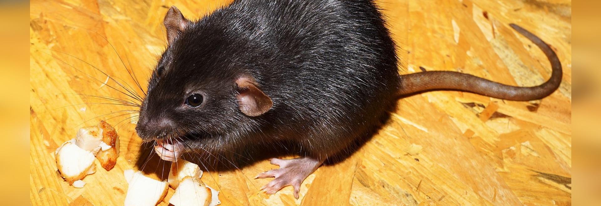 Paraplegiker-Ratten gehen und gewinnen Gefühl nach Stammzelle-Behandlung wieder