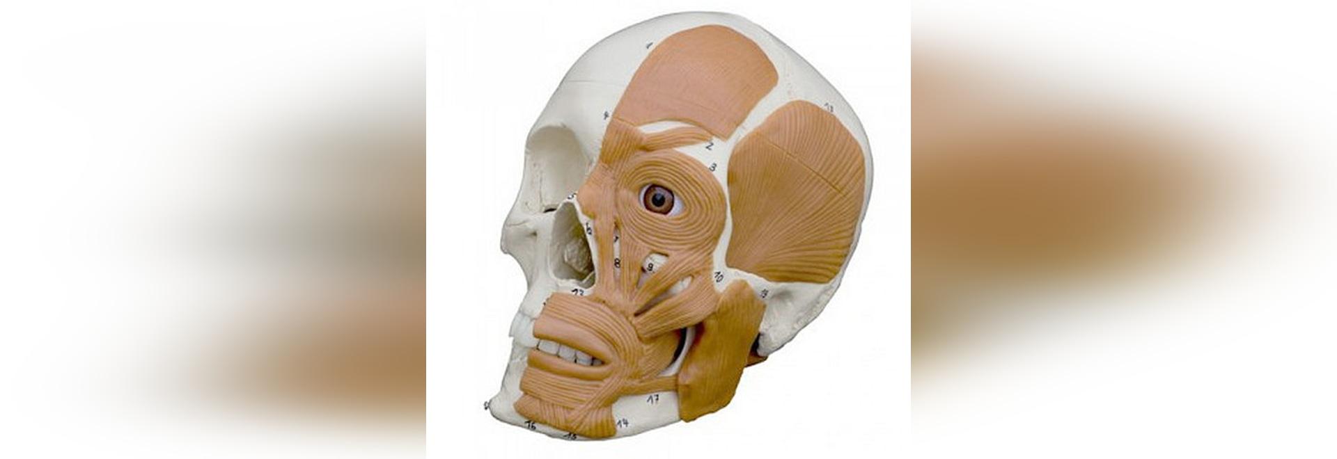 menschliche muskel anatomie