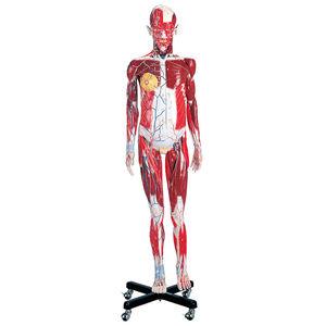 Anatomisches Modell / Muskel / Ganzkörper / für Fortbildungen / männlich